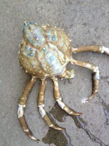blue spiny spider crab