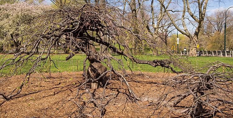camperdown-elm-tree